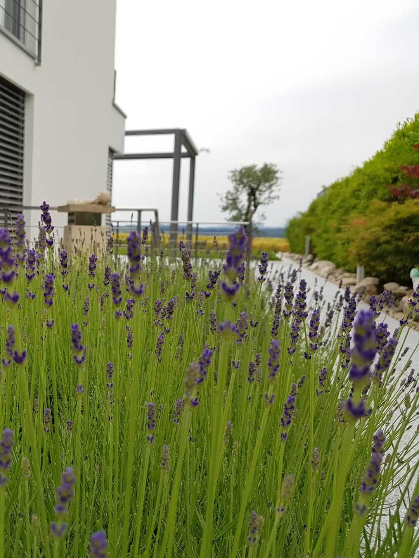 Bepflanzung von Lavendel entlang des Gehwegs