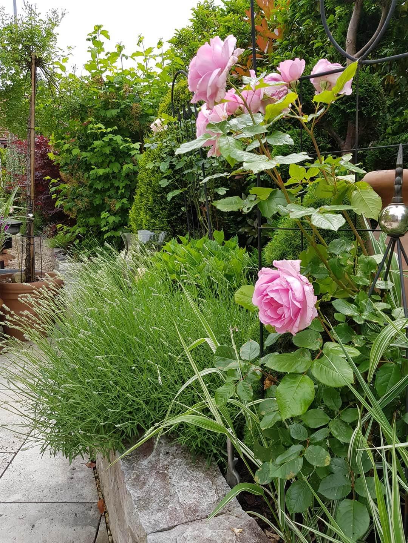 Gartenbepflanzung mit grünen Sträuchern und rosaroten Rosen